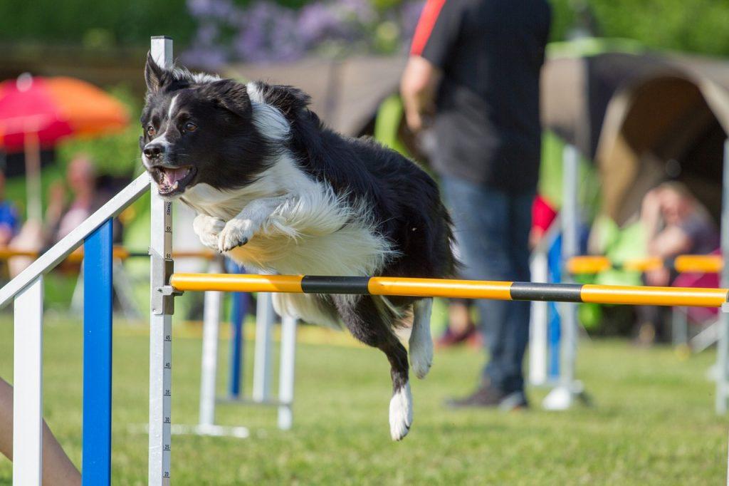agility-para-perros-pista-clases-juegos-entrenamientos-tunel-slalon-pasarela-balancin-circuito-comprar-ofertas-precio-tienda-opiniones-barato-economico-catalogo